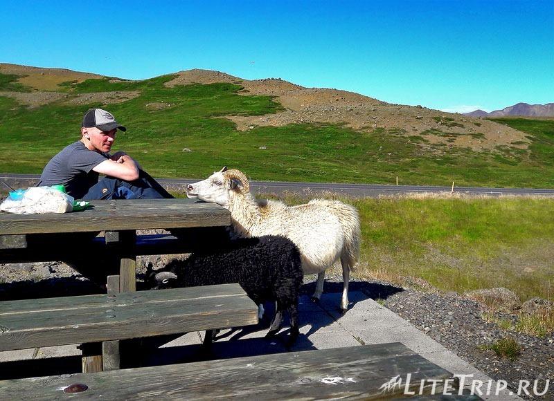 Исландия. Овцы и барашки.