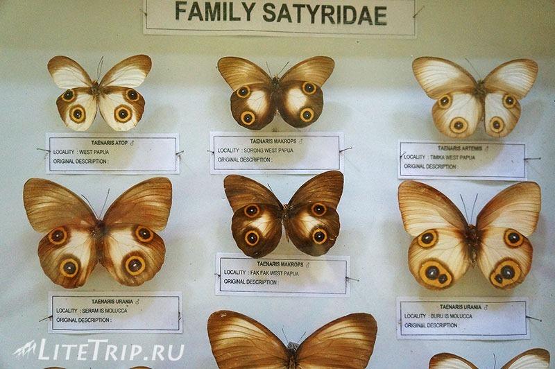 Индонезия. Сулавеси. Национальный парк Бантимурунг -бабочки в музее.
