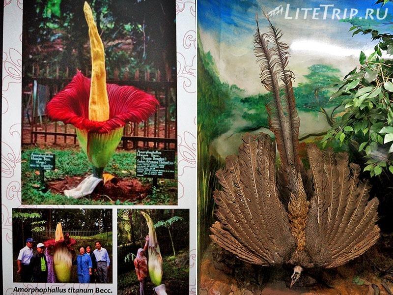 Индонезия. Ява. Богор. Ботанический сад - большой цветок.