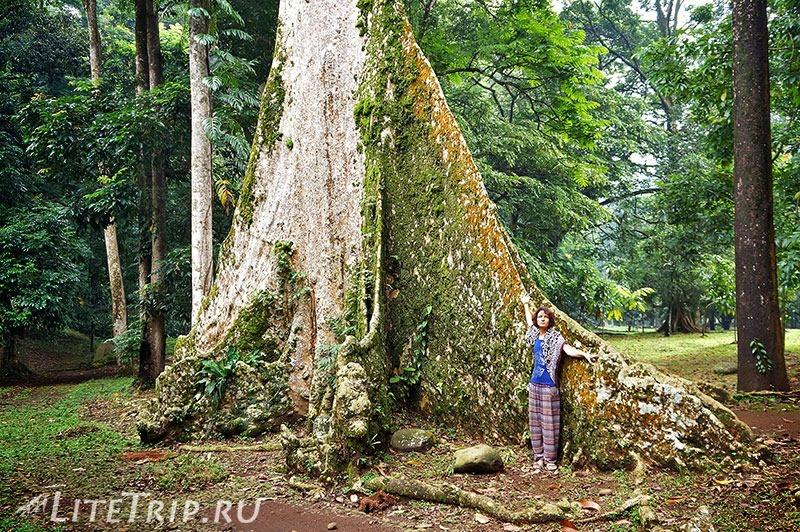 Индонезия. Ява. Богор. Ботанический сад - большое дерево.