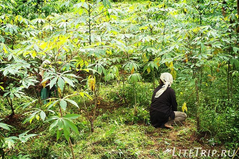 Индонезия. Ява. Богор. Заповедник горы Салак. Работницы.