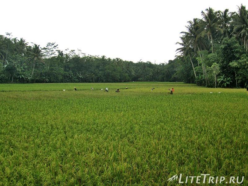 Индонезия. Ява. Боробудур - рисовые поля