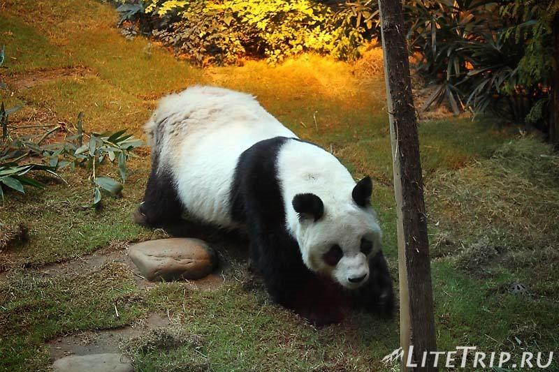 Гонконг. Ocean Park. Панды.