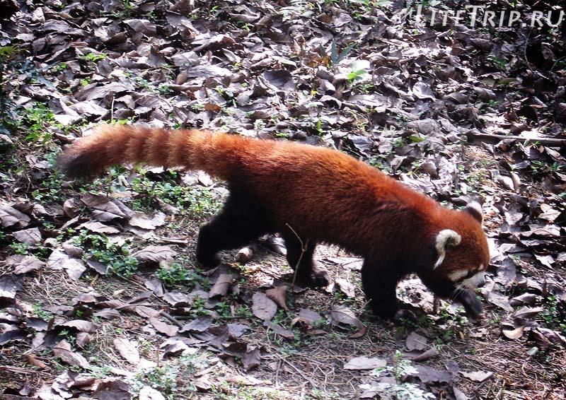 Гонконг. Океанический парк. Рыжая панда.