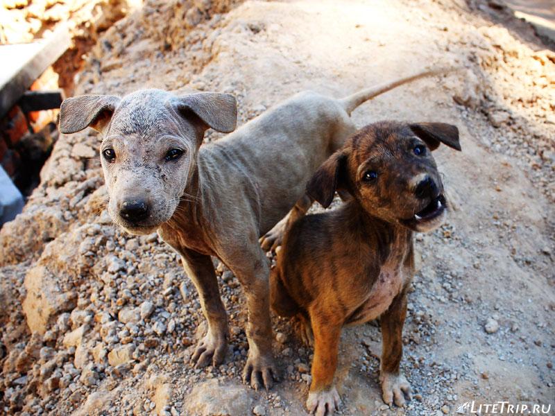 Мьянманские щенки