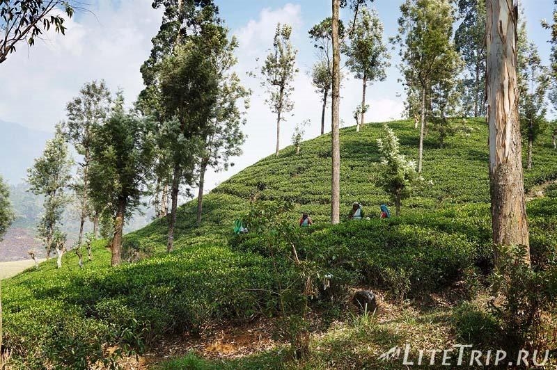 Шри-Ланка. Нувара-Элия. Чайные плантации.
