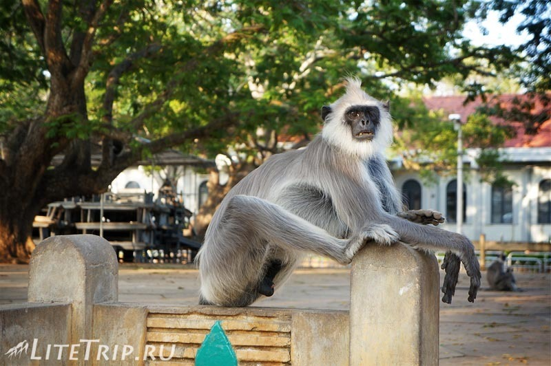Шри-Ланка. Храм Сканды в Катарагаме. Обезьяна.