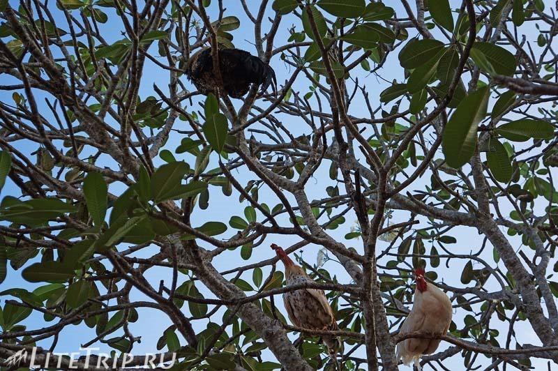 Шри-Ланка. Храм Катарагамы - петухи на дереве.
