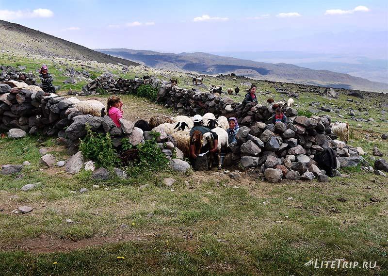 Турция. Курдский лагерь на Арарате - как доят барашков.