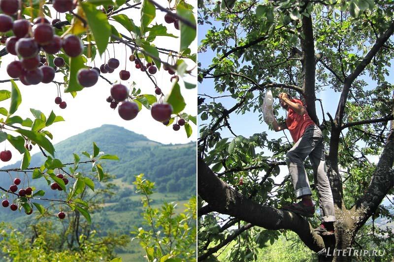 Босния и Герцеговина. Черешня в Високо.