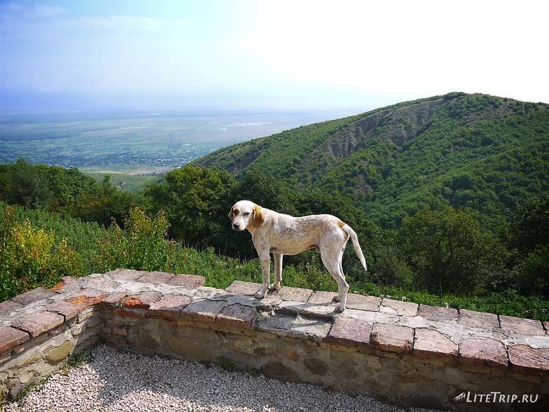 Грузия. Пес-охранник в монастыре Бодбе.