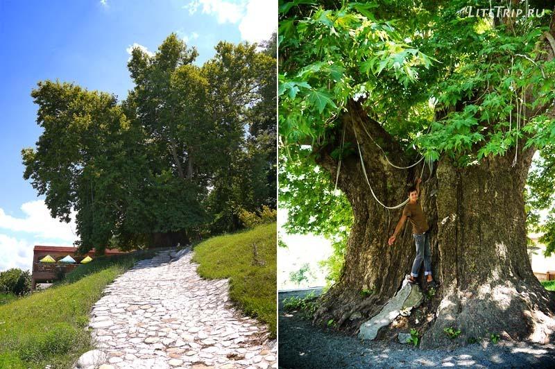 Грузия. 900-летнее дерево платан в Телави.