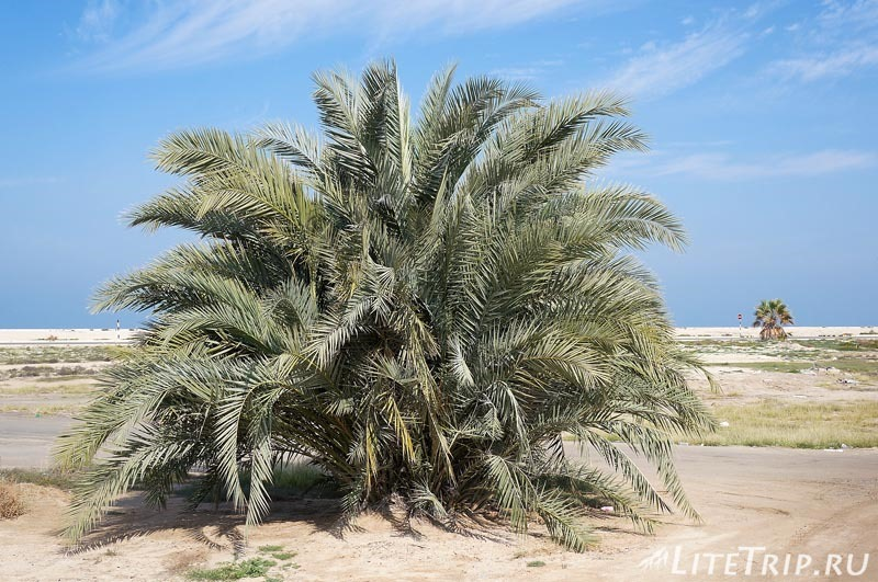 ОАЭ. Эмират Ум-Аль-Кувейн. Пальма.