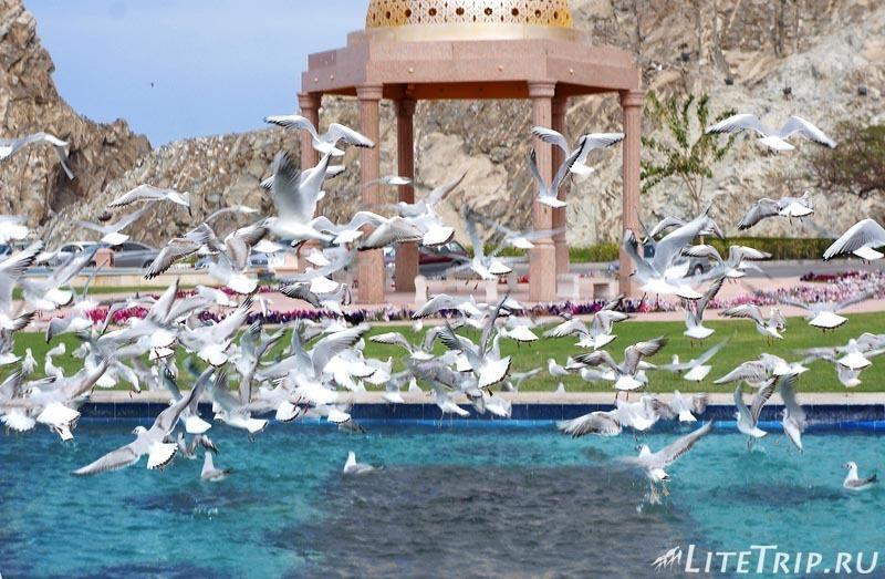 Оман. Старый Маскат - чайки.