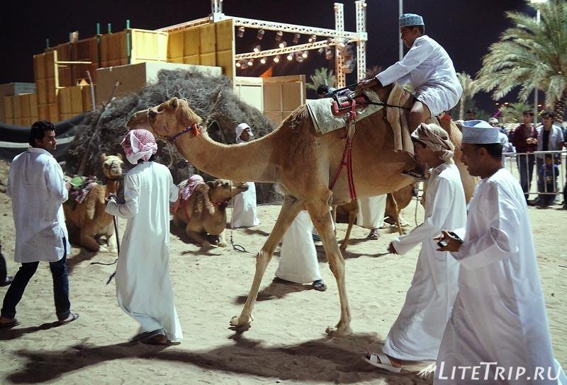 Оман. Фестиваль в Маскате - верблюды.