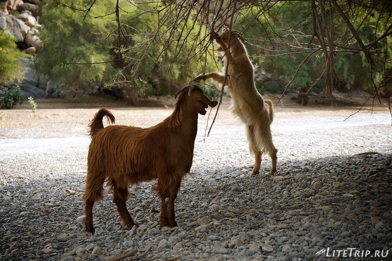 Оман - долина вади (Wadi) в горах - козы.