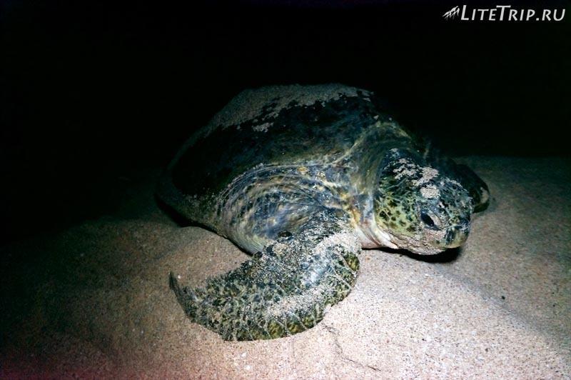 Оман. Рас Аль Джинз. Бесплатный черепаший пляж - черепаха.