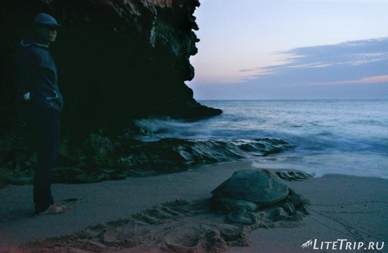Оман. Рас Аль Джинз. Бесплатный черепаший пляж - большая черепаха.