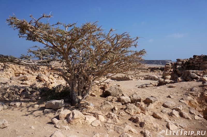 Оман. Салала. Древний город Сумхуран - дерево.
