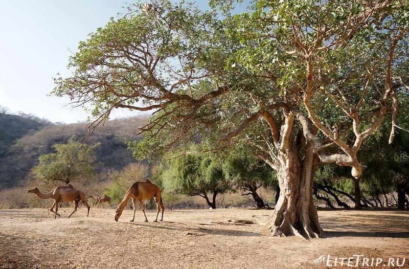 Оман. Салала. Вади Дарбат - верблюды.