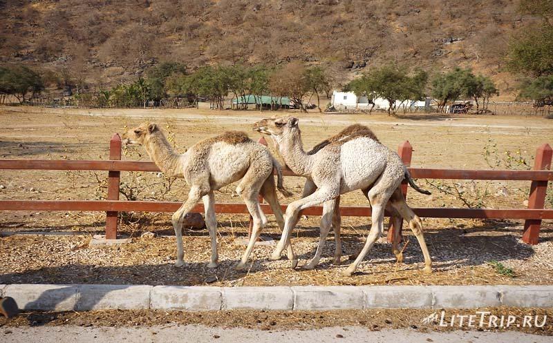 Оман. Салала. Вади Дарбат - верблюжата.