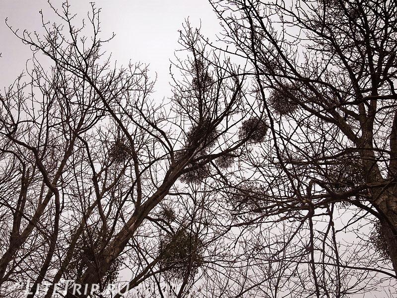 Калининград. Деревья.