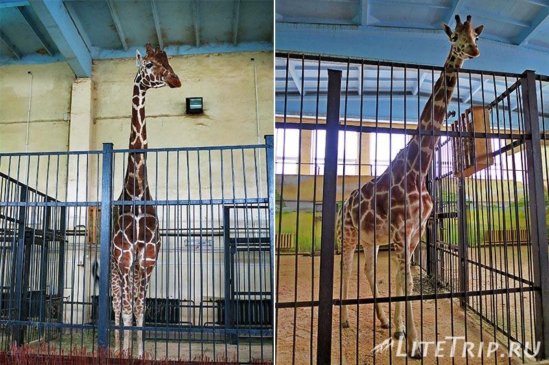 Калининградский зоопарк. Жирафы.