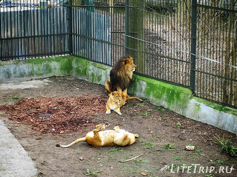 Калининградский зоопарк. Лев.