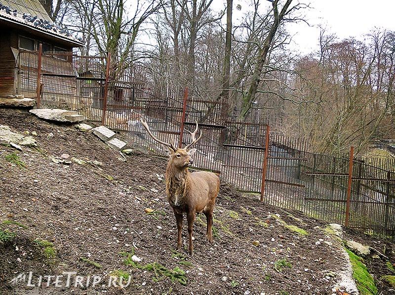 Калининградский зоопарк. Олень.