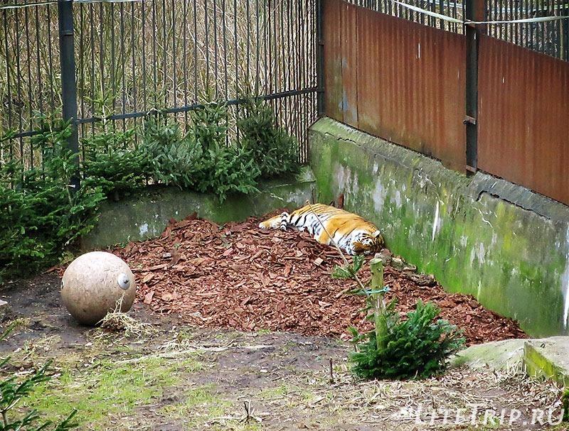 Калининградский зоопарк. Тигр.