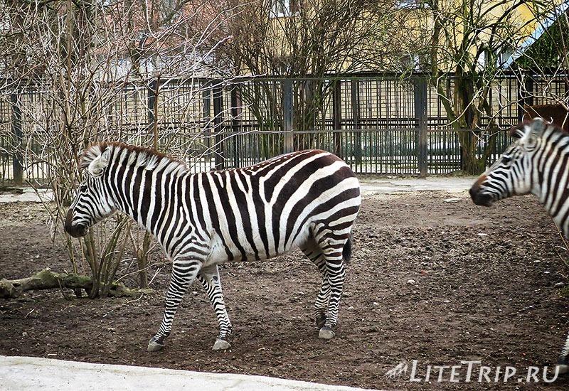Калининградский зоопарк. Зебра.