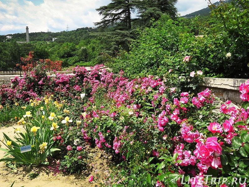 Крым. Никитский ботанический сад. Ирисы с розами.