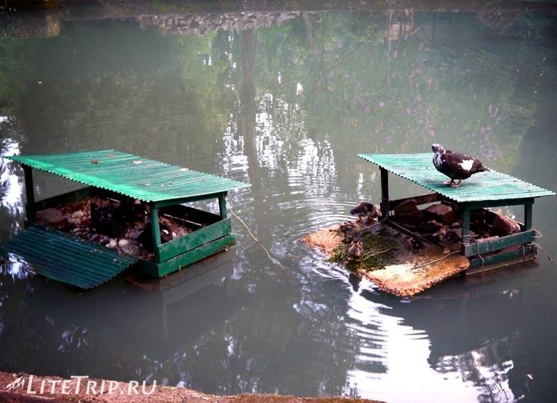 Абхазия. Новый Афон. Городской парк - утки.