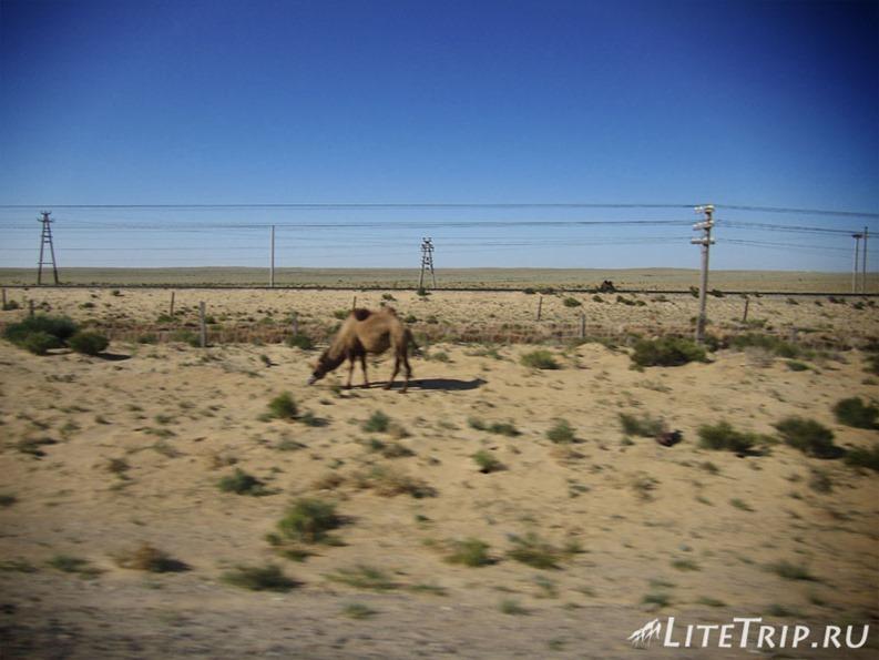 Казахстан. Верблюд в степи.