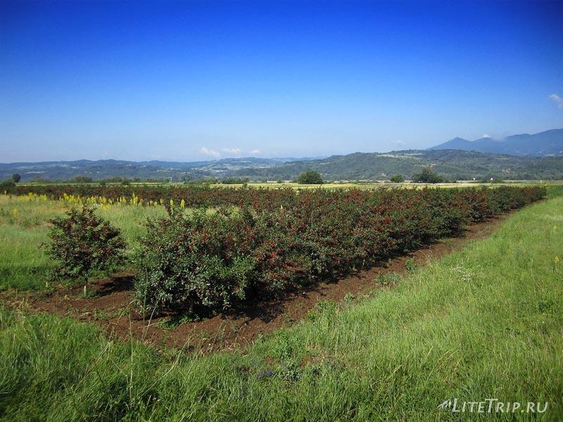 Поле вишни в Сербии