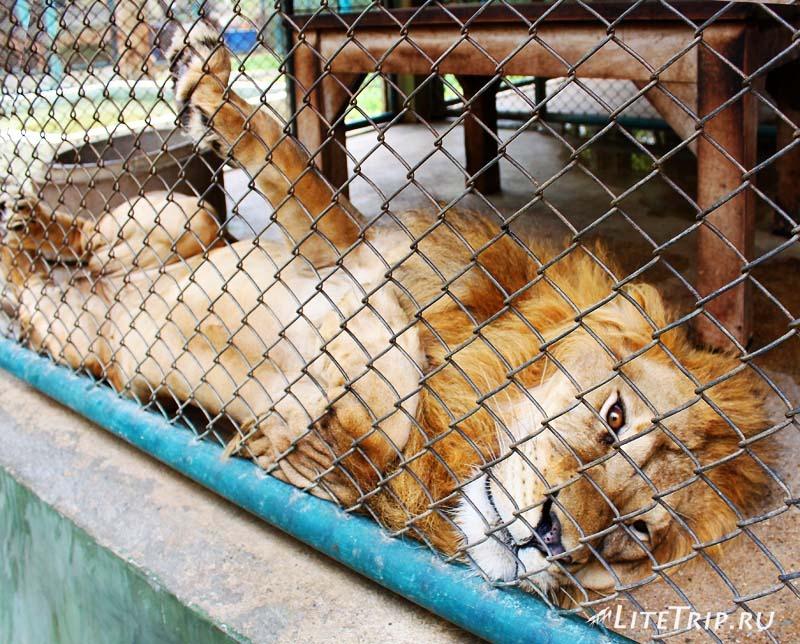 Чианг Май. Tiger Kingdom - лев.