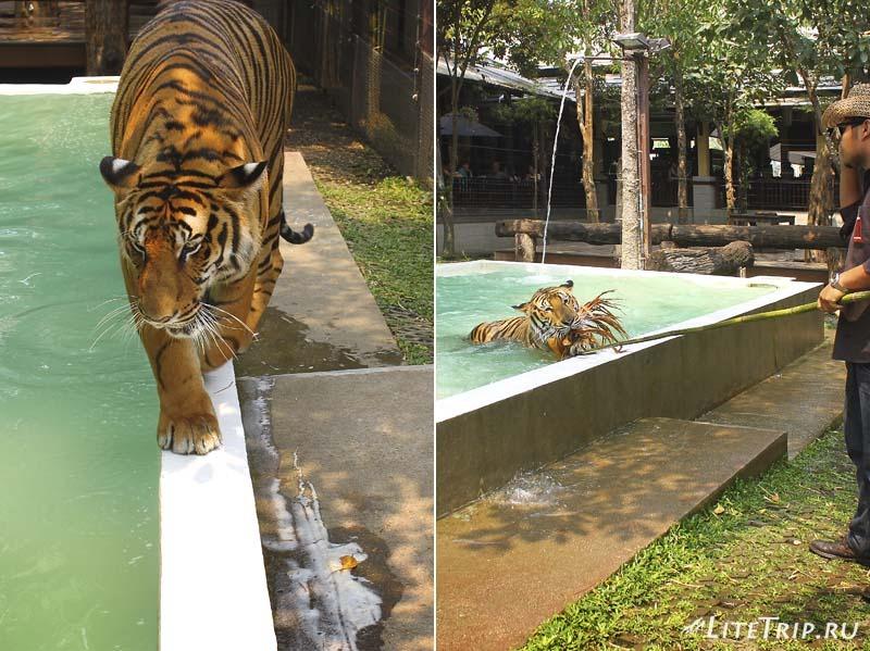 Чианг Май. Tiger Kingdom - играющий тигр.