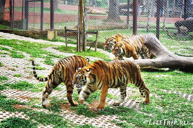 Чианг Май. Tiger Kingdom - вольер с тиграми.