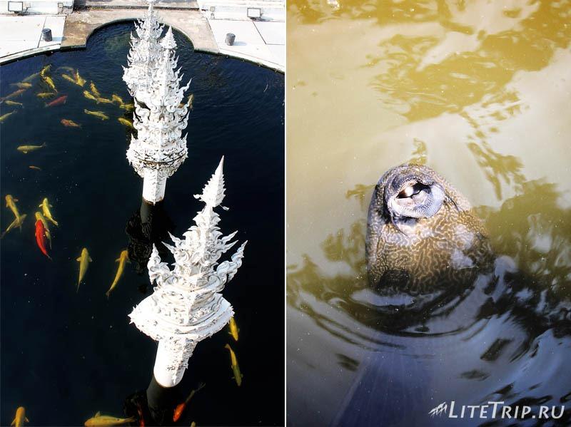 Чианг Рай. Рыбы вокруг Белого храма (Ват Ронг Кхун)