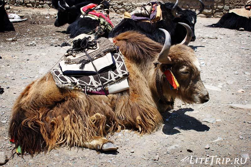 Тибет - Дарчен. Яки.