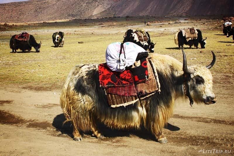 Тибет. Праздник Сага-Дава - яки.