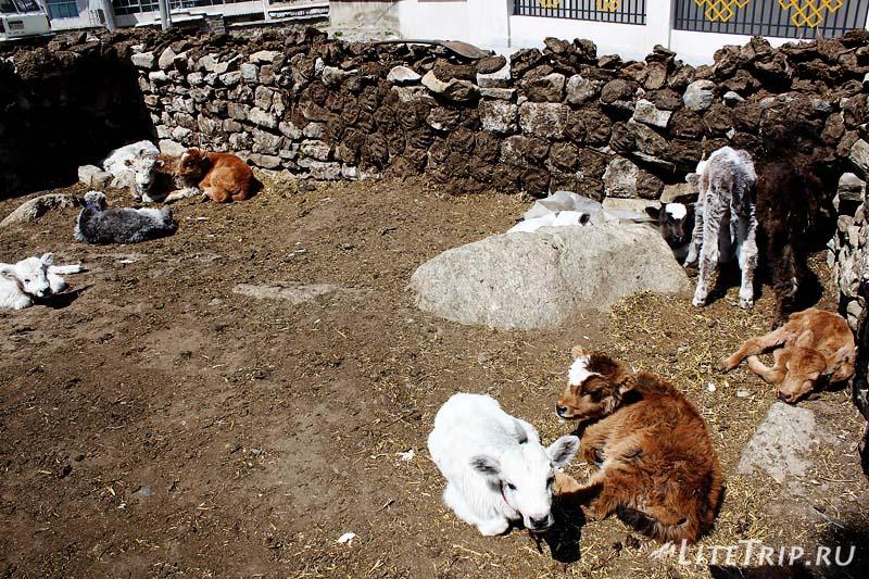 Тибетские Яки.